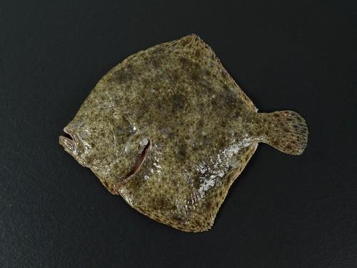 poisssonnerie-robert-saint-etienne-turbot